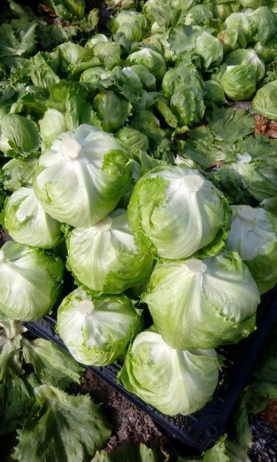 Lettuce cabbage